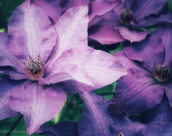 Purple CLEMATIS FLOWER Photography, Pick Your Size Print, GARDEN, Nature, Vibrant Purple, Color, Flower Photo, Nature Print, Garden Art