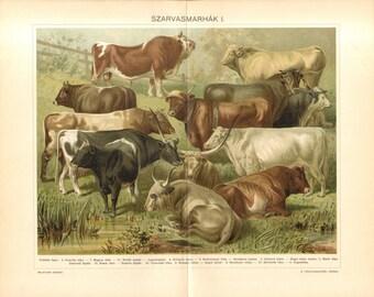 1897 Cattle Breeds, Bulls, Cows, Oxen Original Antique Chromolithograph to Frame