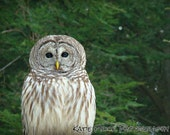 Barred Owl - matted photograph