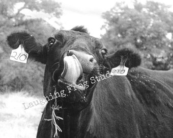 Stock Photo Digital Download - Black Angus - Cow  - Cow Tongue - Licking Cow - Black Cow - Stock Art
