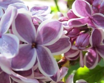 French Lilac Up Close Digital Download Springtime Blossom Macro