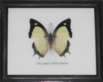 Real BUTTERFLY Collection Taxidermy in Frame / BTF01EE2