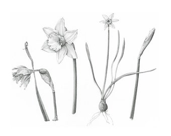 Botanical Art Daffodils - Narcissus Giclée Print