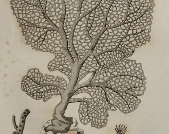 1808 Antique print of a VENUS FAN CORAL. Gorgonia flabellum. Corals. Sea Life. Marine Animals. Natural History. 208 years old engraving