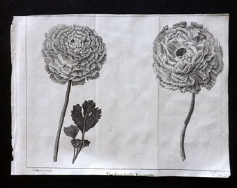 Pluche 1740 Botanical Print. The Semi-double Ranunculus