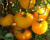 Azoychka Tomato Heirloom Garden Seed Non-GMO 30+ Seeds Russian Heirloom Beefsteak Open Pollinated Gardening