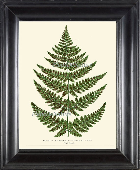 Fern Print Botanical Wall Art 2 Antique Beautiful Green Ferns Forest Summer Plant Bookplate Illustration Picture to Frame Home Room Decor