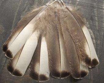 12 Rare Narragansett Turkey Wing Covert Feathers ~ Cruelty Free