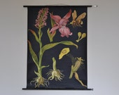 RARE Original School Chart. Western marsh orchid (Orchis latifolia). Pull Down. Jung Koch Quentell. Germany. 1157