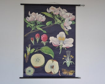 Rare Authentic Mid Century Botany Print. Apple tree. Pull Down Chart. Jung Koch Quentell. Germany. 1199