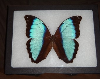 Framed Butterfly Morpho deidamia from Peru Wing Art Display Butterfly Collection #1-2