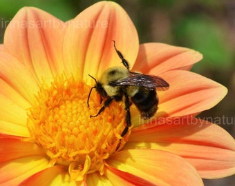 Nature Fine Art Photography Dahlia and Bee 8x10 Floral Macro print Orange Botanical Art