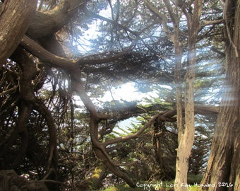 Cypress Trees Fine Art Photography