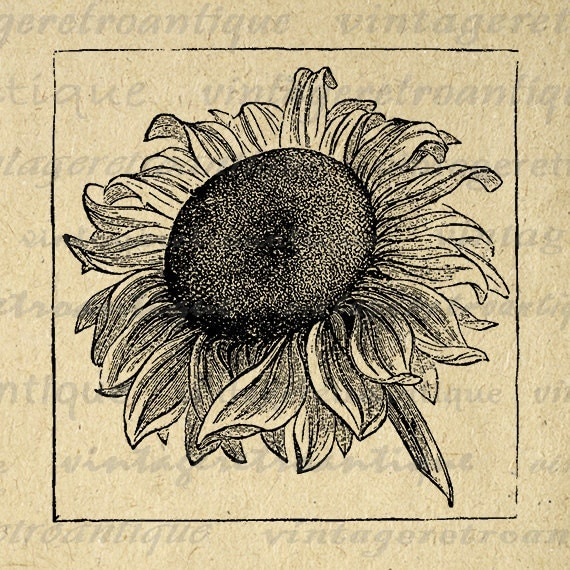 Sunflower Graphic Printable Image Flower Digital Antique Download Vintage Clip Art Jpg Png Eps 18x18 HQ 300dpi No.115