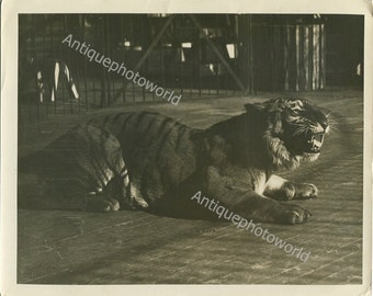 Beautiful roaring tiger antique photo