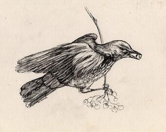 song thrush, wildlife, wild bird, small bird, original pen drawing of a thrush