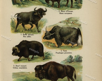 1890 Original Colored lithograph of Animals nature print natural history prints art decor home decor wall art -Bison- Buffalo