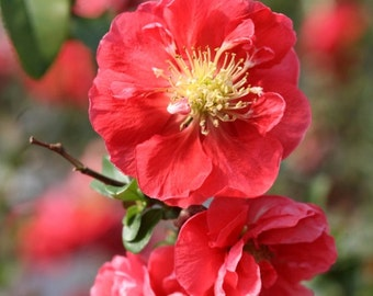 Pink Storm Double Take Flowering Quince - Live Plant - 4 Inch Pot