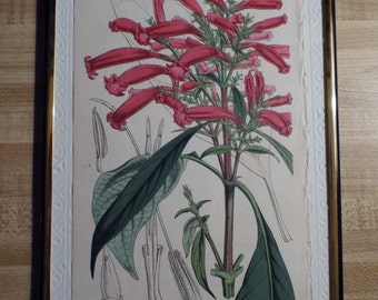 Original Botanical Print - Stephanophysum baikiei  ( C 1860 )