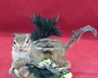 Taxidermy chipmunk display-all natural//diorama/acorn/ladybug/flowers