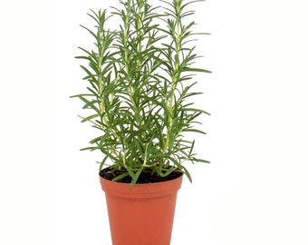 Rosemary Plant Herb Plant Grown Hardy Rosemary Arp 4 Inch Container Potted Plant Non-GMO