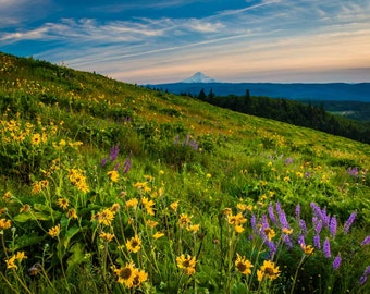 Wildflowers and view of Mount Hood from Tom McCall Point, Columbia River Gorge, Oregon. | Photo Print, Stretched Canvas, or Metal Print.