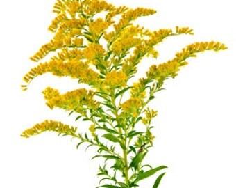 Goldenrod Extarct 25 gram