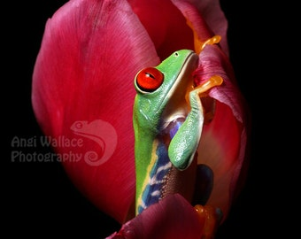 Red eyed tree frog in flower - large print