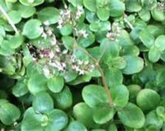 Fairy Crassula Multicava Succulent Starter Plant