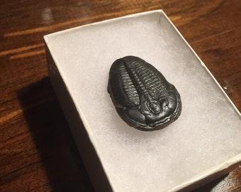Trilobite Fossil *** EXCELLENT***