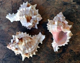 """Pink Murex Seashell (3 pcs.) - (2-3"""") - Murex Erythrostomus"""