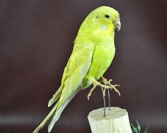 real bird taxidermy budgerigar  , birthday gift, gift,free shipping to worldwide