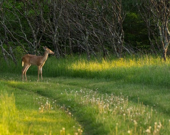 White-Tailed Deer In Sunlight, Wildlife Photography, Animal Photograph, Nature Photography, Wisconsin Photography