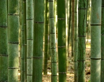Bamboo Forest, Woods