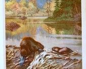 Walter Alois Weber Unframed Animal Art Print BEAVER 1934 wildlife art