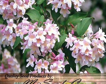 Beauty Bush - Kolkwitzia amabilis - Shrub Seed Seeds - Pink With Yellow Throat Blooms - Attracts BUTTERFLIES - Zones 4 - 8