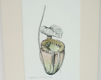 Pitcher Plant pen and ink with watercolour