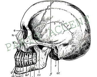 A Comparative View of a Human Skull extracted from 'A Picture Book of Evolution' dated 1906, instant digital download!