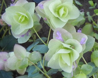 Ornamental Oregano Round-Leaved Origanum Rotundifolia Flower Seeds / Perennial  25+