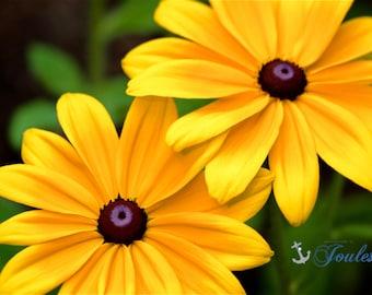 Limited Edition ~ Sunshines ~ Black Eyed Susans, Rhode Island, Floral, Flowers, Summer, Fine Art Canvas, New England