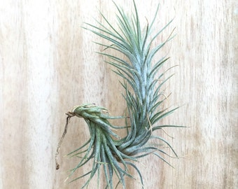 Tillandsia funkiana Air Plant - Three sizes available