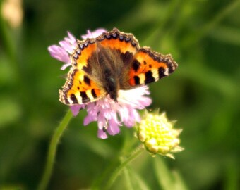 Butterfly photograph, nature photograph, country wildlife photography, wildflowers picture, countryside nature scenery, wall art decor, gift