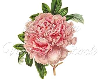 Vintage Pink Peony Clipart PNG Digital Image - Vintage Peony Illustration  INSTANT DOWNLOAD - 1444
