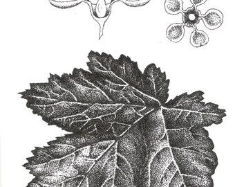 Ninebark Botanical Natural History Illustration