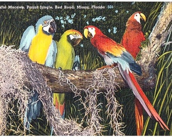 Vintage Florida Postcard - Colorful Macaws at Parrot Jungle, Miami (Unused)