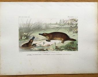 1849 ANTIQUE PLATYPUS ENGRAVING original antique hand colored engraving of Australian animal print - duckbill platypus - monotreme - Travies