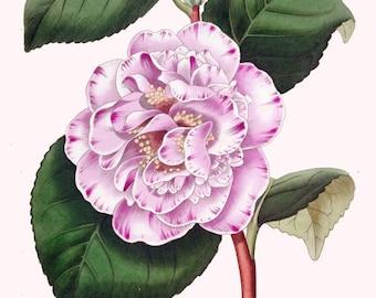 antique french botanical print camellia japonica punctata illustration digital download
