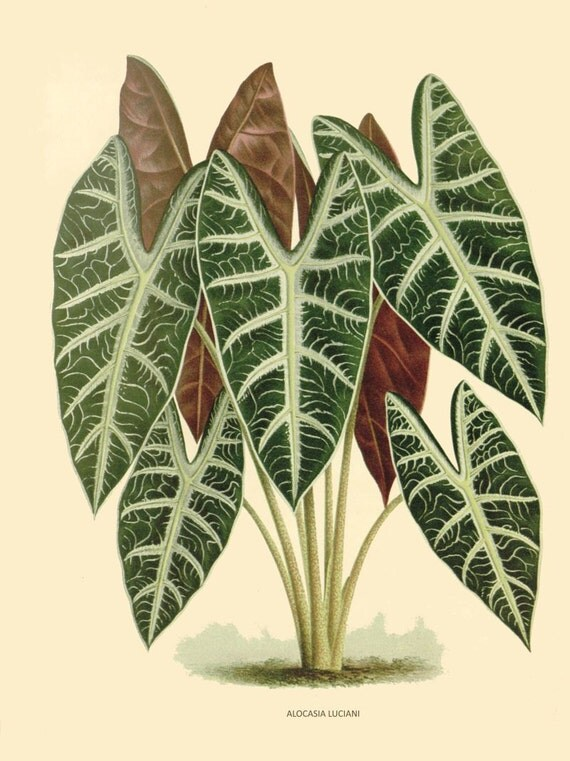 antique french botanical print tropical green plant alocasia