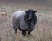 Pommersches Landschaf Pomeranian Country Sheep, Rarest of Rare Endangered German Breed