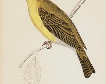 1865 Antique BIRD print of a MELODIOUS willow WARBLER, songbird, Original antique hand colored print